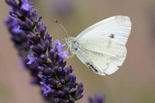 Schmetterling_DSC8423
