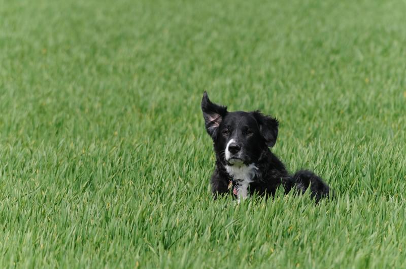 Unsere Nele (Bernasennen Labrador Mix)